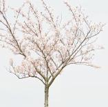 梦幻樱花Sakura主题ppt